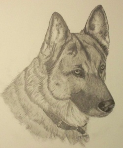 german-shepperd