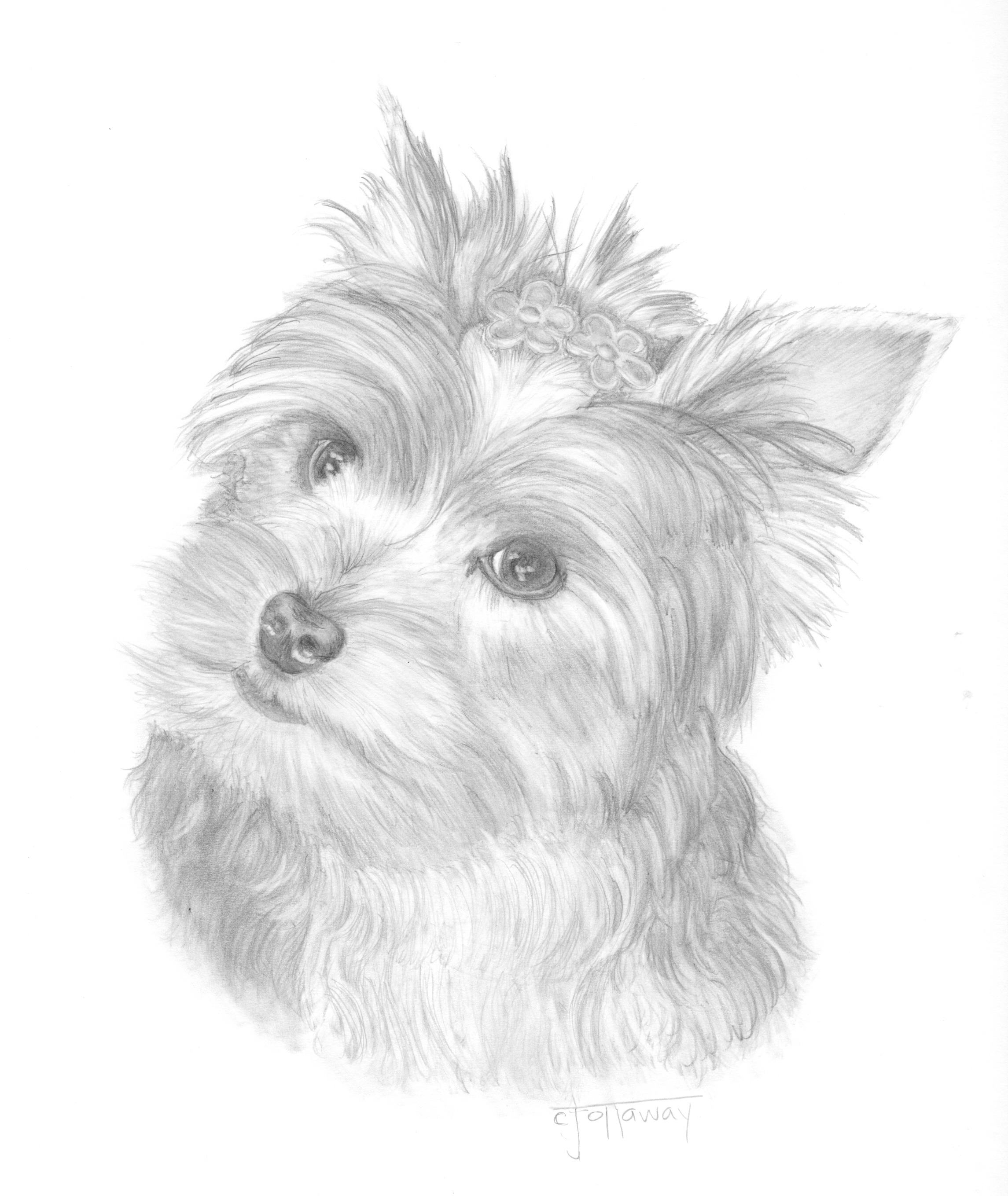 Free Coloring Pages Of Yorkie Puppy Yorkie Coloring Page